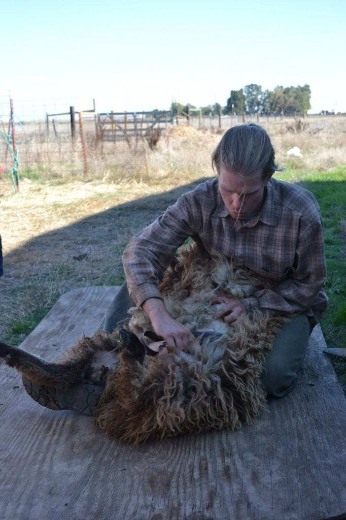 sheep shearer