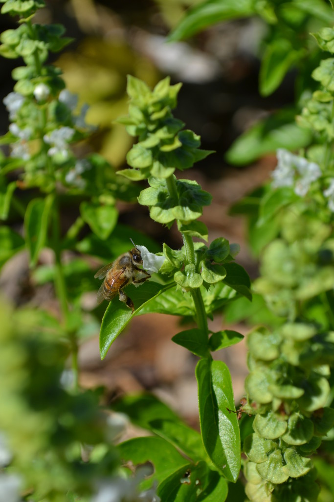Bees also love Basil